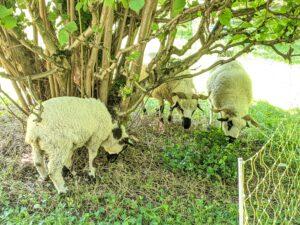 Les 3 moutons à l'Observatoire
